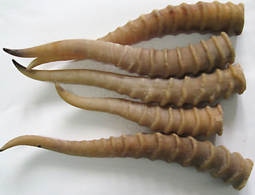 Antelope Horn (Ling Yang Jiao)