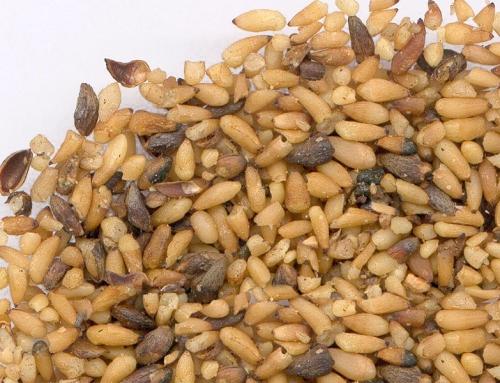 Platycladus Seed (Bai Zi Ren)
