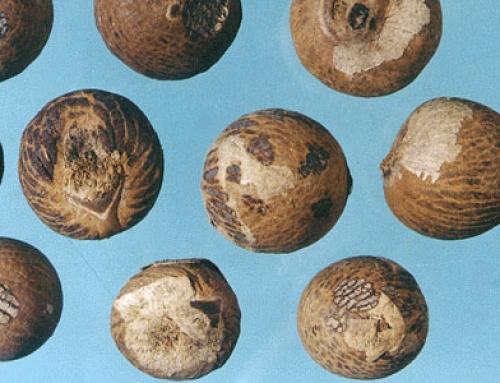 Areca Seed (Bing Lang)