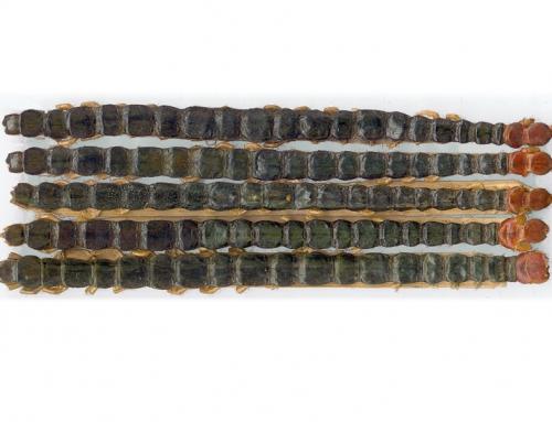 Centipede (Wu Gong)
