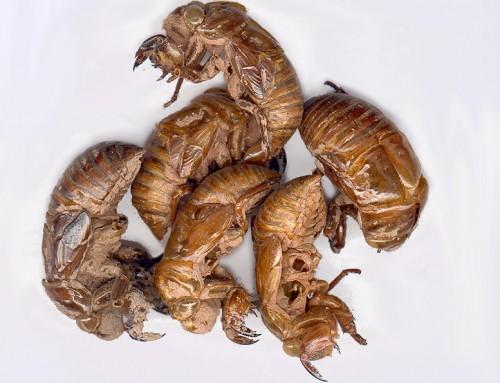 Cicada Molting (Chan Tui)