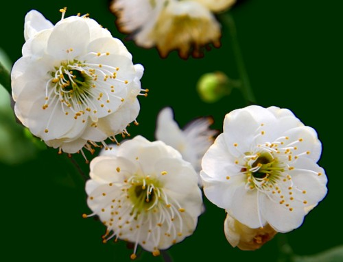 Mume Flower (Lu E Mei)