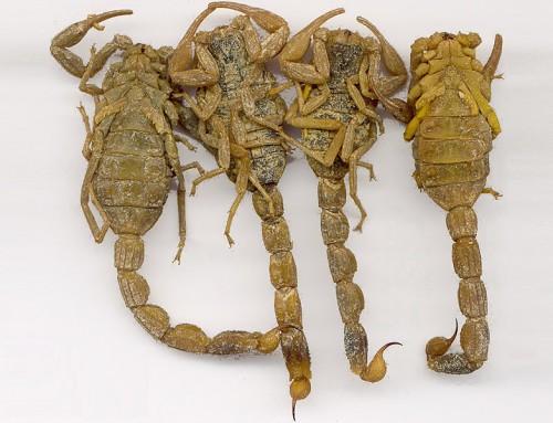 Scorpion (Quan Xie)
