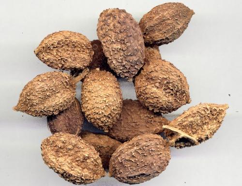 Chinese Amomum Seed (Sha Ren)